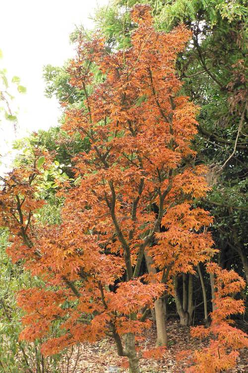 Acer palmatum 'Shishigashira' (lion's-mane Japanese maple)