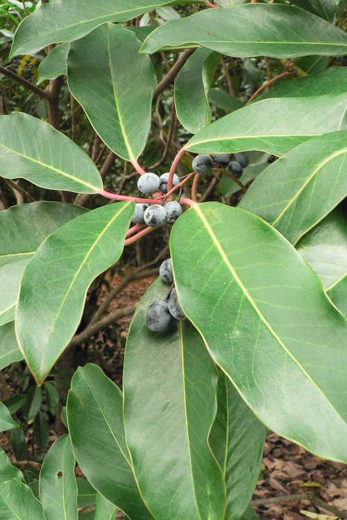 Daphniphyllum macropodum (courtesy-leaf)