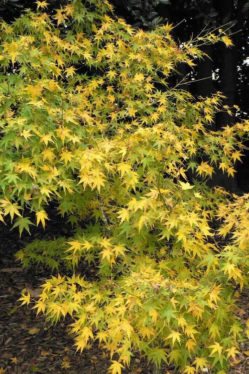 Acer palmatum 'Golden Flame' (green-leaf Japanese maple)