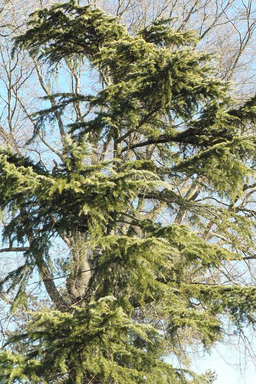 Cedrus deodara 'Aurea Pendula' (golden weeping Deodar cedar)
