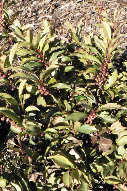 Eurya japonica 'Moutiers' (variegated eurya)