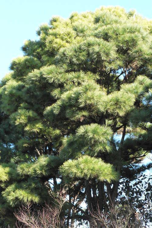 Pinus taeda NCSU Dwarf Group (dwarf loblolly pine)