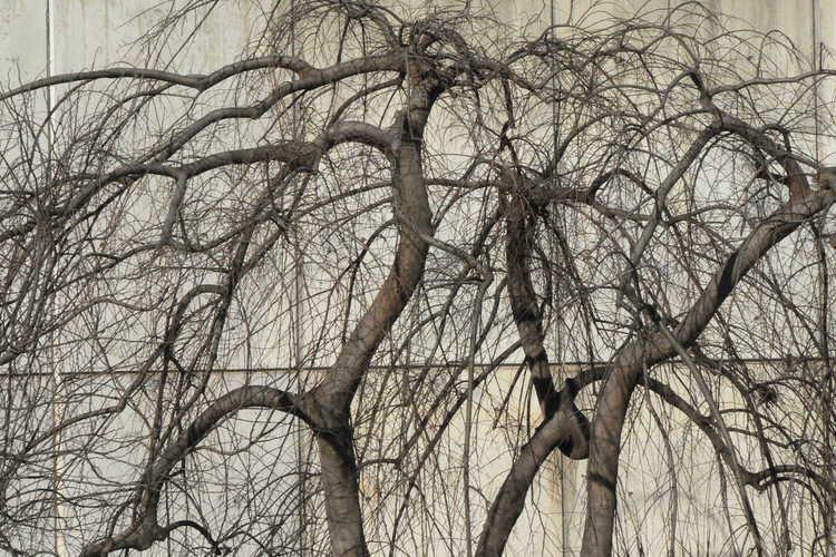Celtis sinensis 'Green Cascade' (weeping Chinese hackberry)