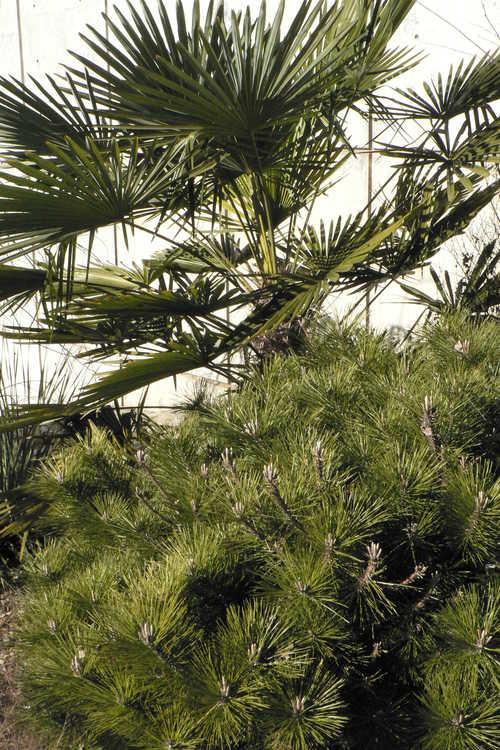 Pinus thunbergii 'Banshosho' (dwarf Japanese black pine) and Trachycarpus fortunei (Bulgaria) (hardy windmill palm)