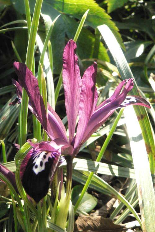 Iris [Reticulata Group] 'Pauline' (netted iris)