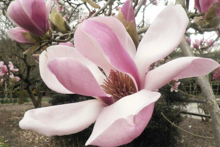 Magnolia denudata 'Forrest's Pink' (pink Yulan magnolia)