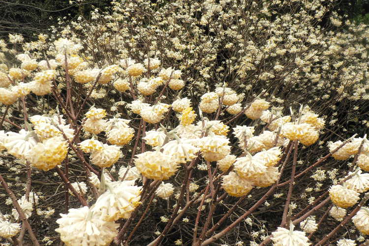 Edgeworthia chrysantha (golden paperbush)