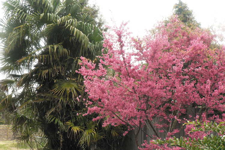 Prunus 'First Lady' (hybrid flowering cherry) and Trachycarpus fortunei (windmill palm)