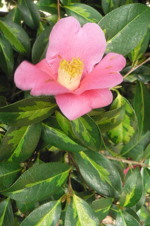 Camellia ×williamsii 'Golden Spangles' (variegated Williamsii camellia)