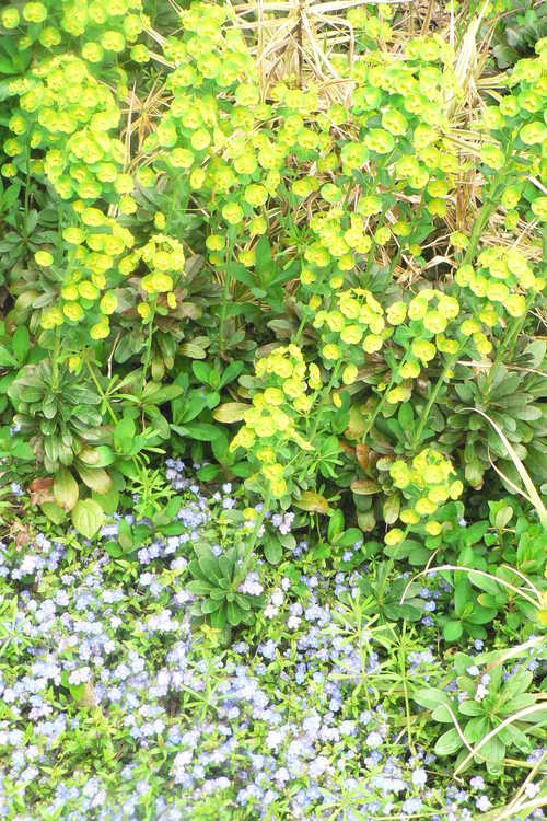 Euphorbia amygdaloides var. robbiae (Mrs. Robb's bonnet) and Veronica umbrosa 'Georgia Blue' (creeping veronica) - Winter Garden