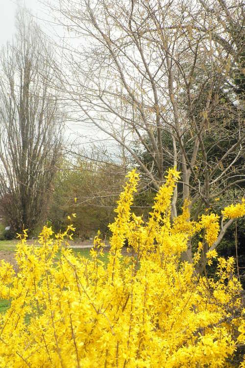 Forsythia giraldiana 'Golden Times' (gold-margined early forsythia)
