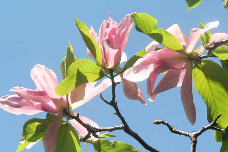 Magnolia 'Daybreak' (Kehr hybrid magnolia)