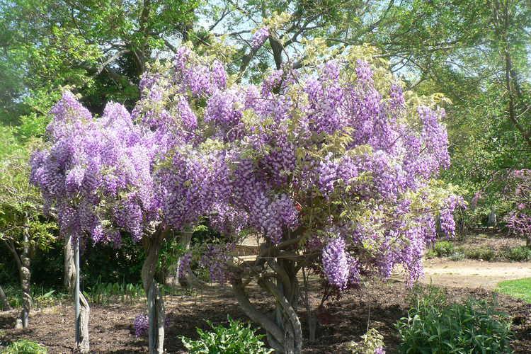 Wisteria 'Caroline' (flowering wisteria)