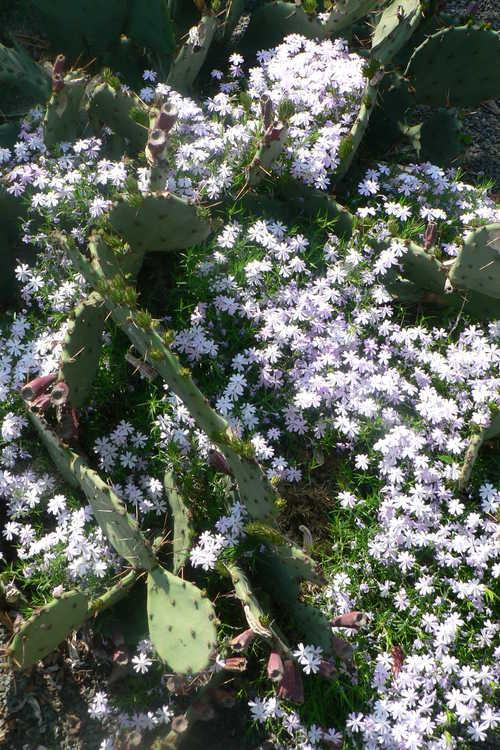 Phlox subulata 'Emerald Blue' (moss phlox)