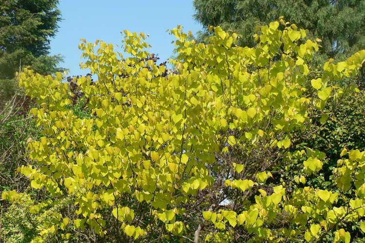Cercis canadensis 'Hearts of Gold' (gold-leaf eastern redbud)