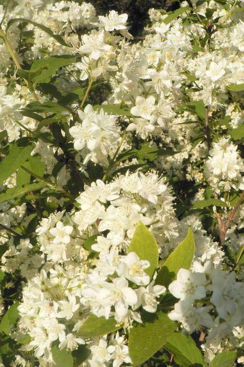 Deutzia ×lemoinei (Lemoine deutzia )