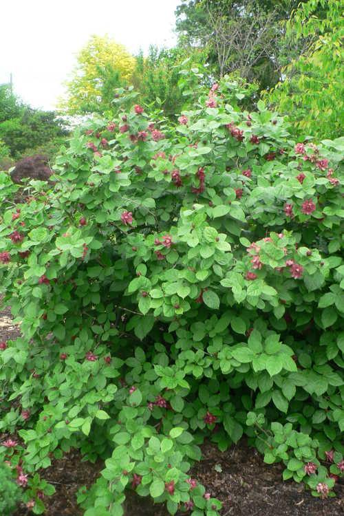 Calycanthus ×raulstonii 'Hartlage Wine' (Raulston allspice)