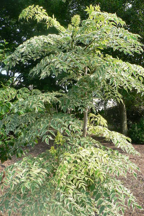 Aralia elata 'Silver Umbrella' (variegated Japanese angelica tree)