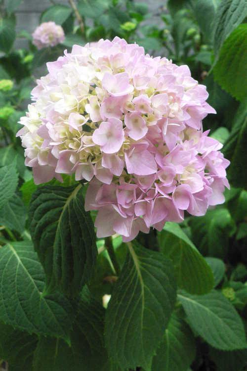 Hydrangea macrophylla 'Oak Hill' (French hydrangea)