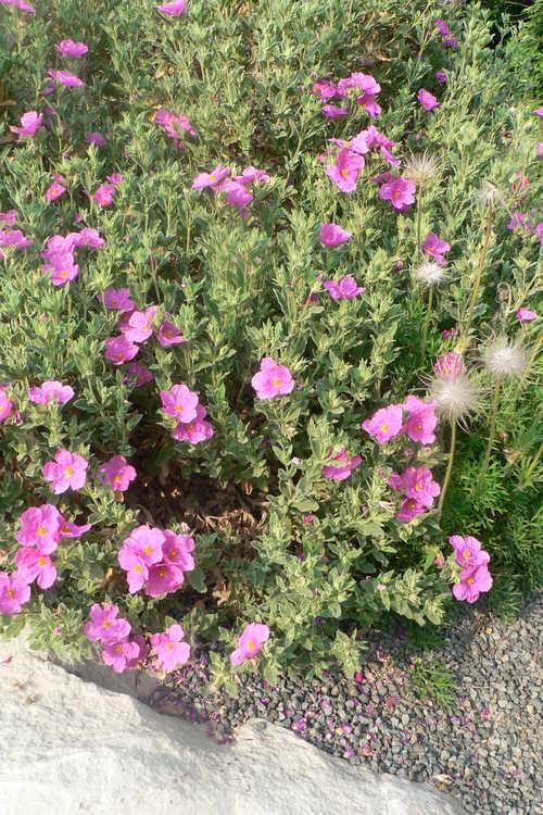 Cistus pulverulentus 'Sunset' (rockrose) and Pulsatilla halleri subsp. styriaca (Steiermark pasque-flower)