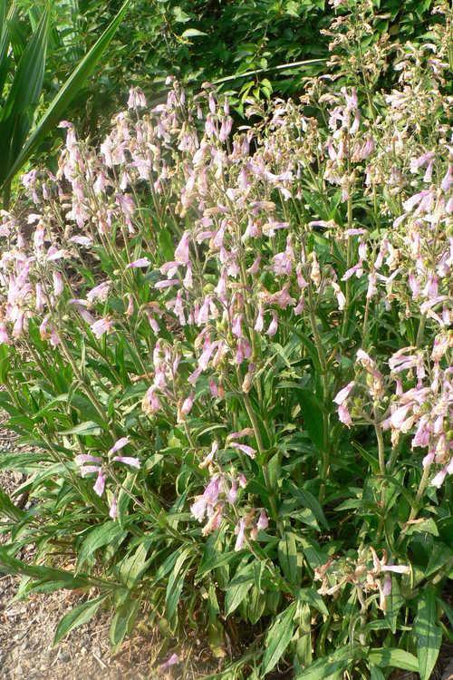 Penstemon canescens (beardtongue)