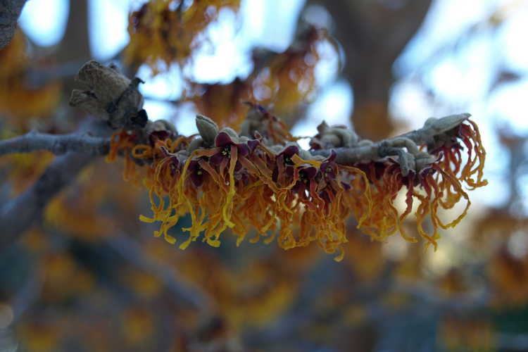 Hamamelis ×intermedia 'Jelena' (copper-flowered common witchhazel)