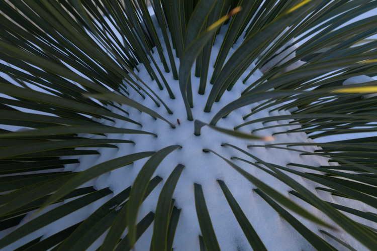 Yucca thompsoniana (Trans Pecos yucca)