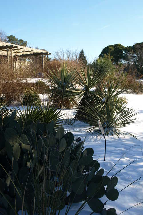 Opuntia cacanapa 'Ellisiana' (spineless prickly-pear) and Yucca treculeana (Don Quixote's lance) - Xeric Garden