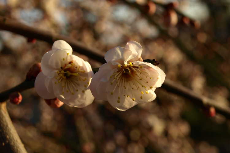 Prunus mume 'Bridal Veil' (weeping Japanese flowering apricot)