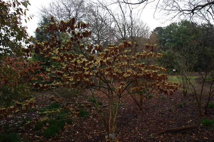 Hamamelis ×intermedia 'Pallida' (common witchhazel)