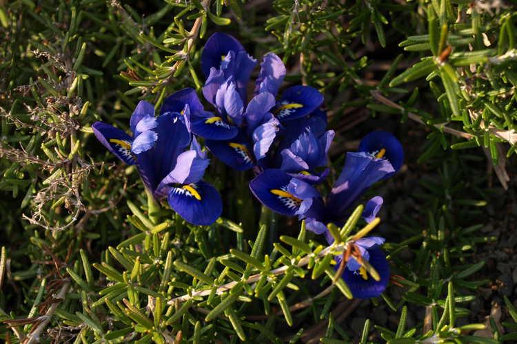 Iris [Reticulata Group] 'Harmony' (netted iris)