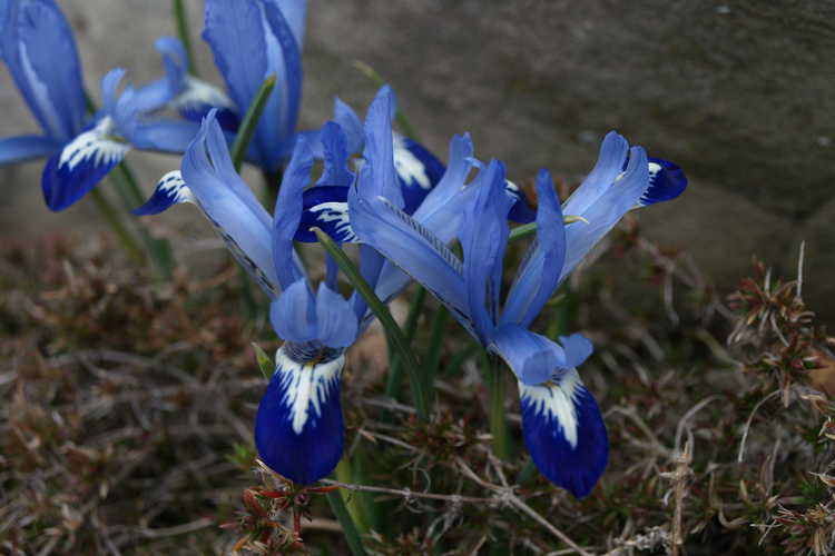 Iris [Reticulata Group] 'Spring Time' (netted iris)