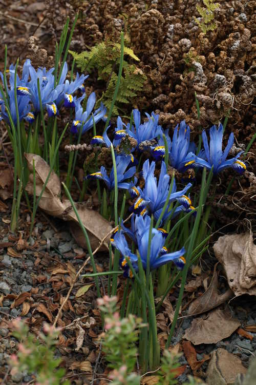 Iris [Reticulata Group] 'Gordon' (netted iris)