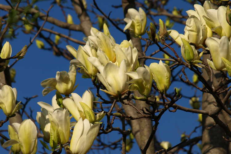 Magnolia 'Legend' (Leach hybrid magnolia)