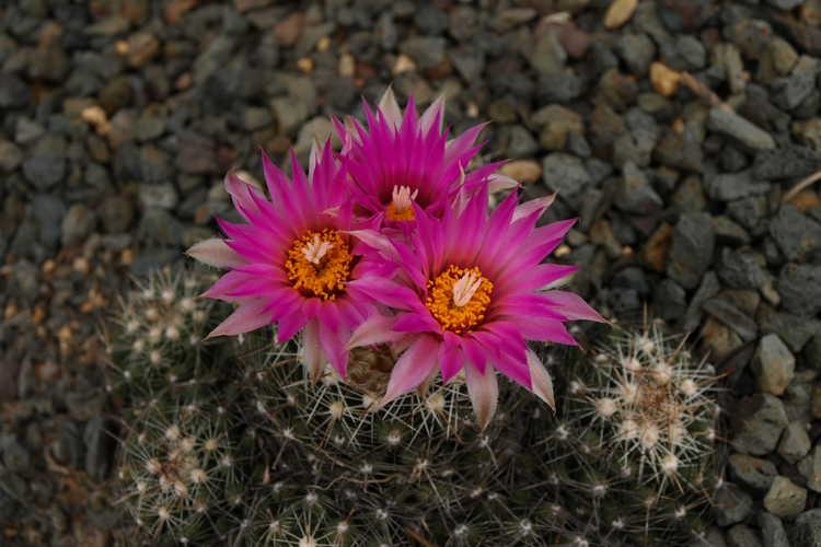 Escobaria vivipara (spinystar cactus)