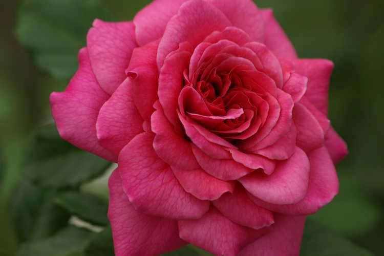Rosa 'Ausjump' (Christopher Marlowe shrub rose)