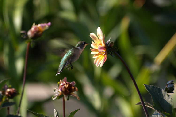 Dahlia 'Classic Summertime' (garden dahlia) - female ruby-throated hummingbird