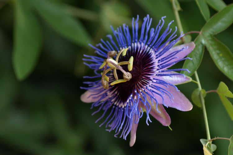 Passiflora 'Purple Haze' (hybrid passion flower)