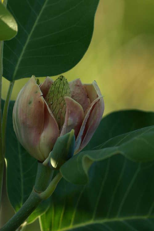 Magnolia delavayi (Father Delavay's magnolia)