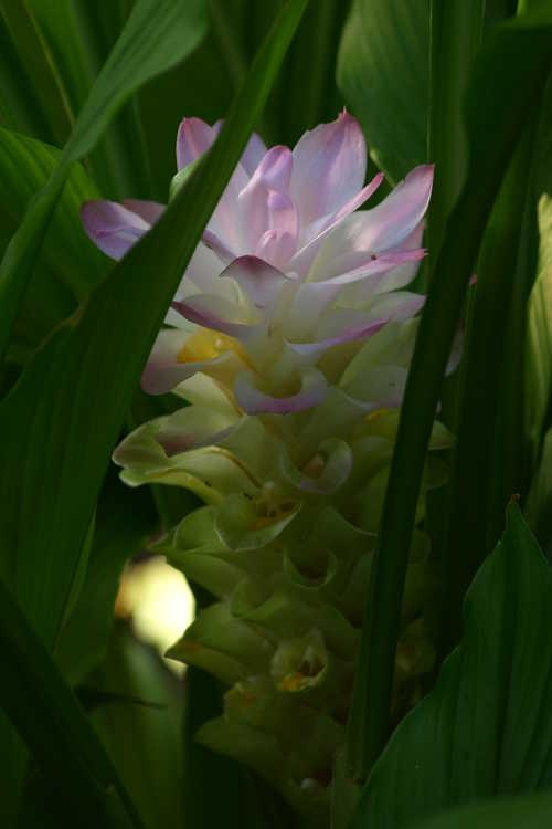 Curcuma petiolata (hidden cone ginger)