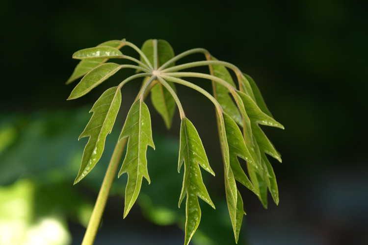 Schefflera heptaphylla (ivy tree)