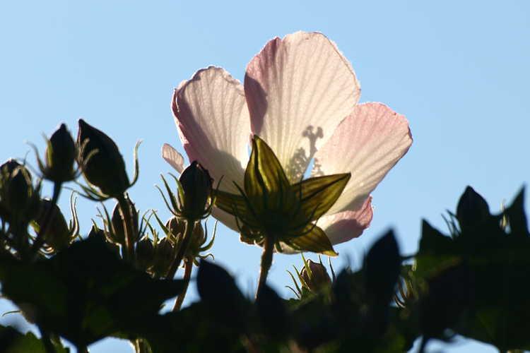 Hibiscus makinoi (sea hibiscus)