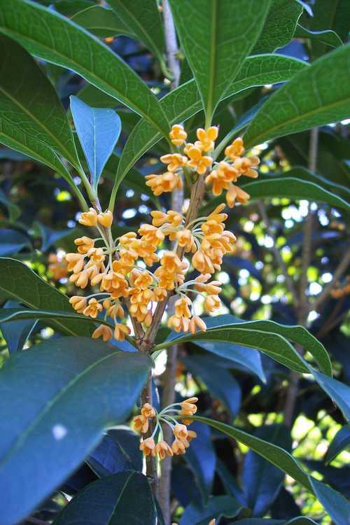 Osmanthus fragrans f. aurantiacus (orange sweet-olive)