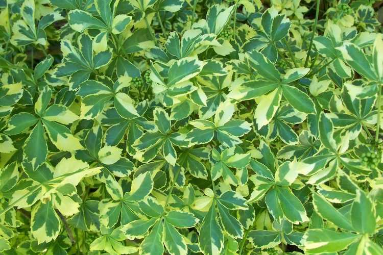 Eleutherococcus sieboldianus 'Variegatus' (variegated five-leaf aralia)