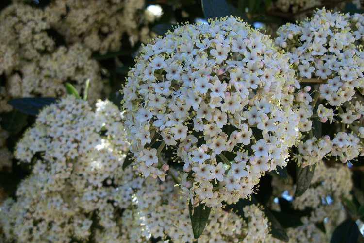 Viburnum ×pragense (Prague viburnum)