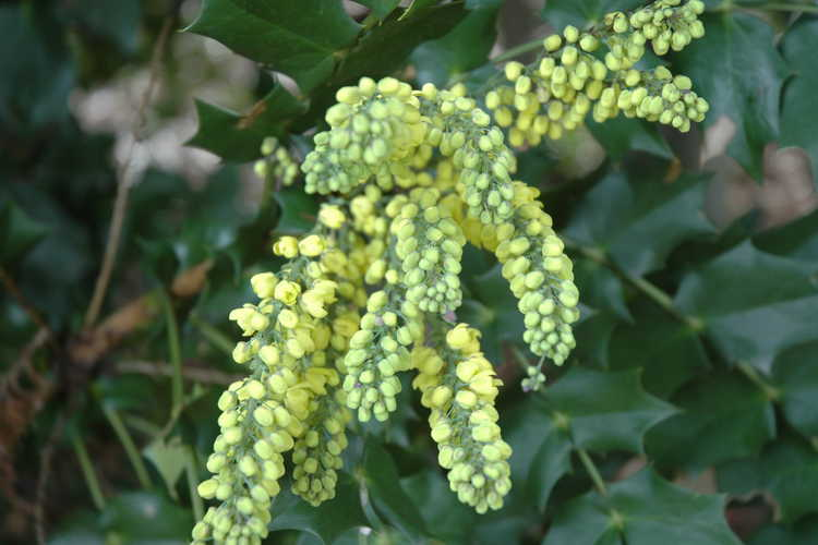 Mahonia 'Arthur Menzies' (grapeholly)