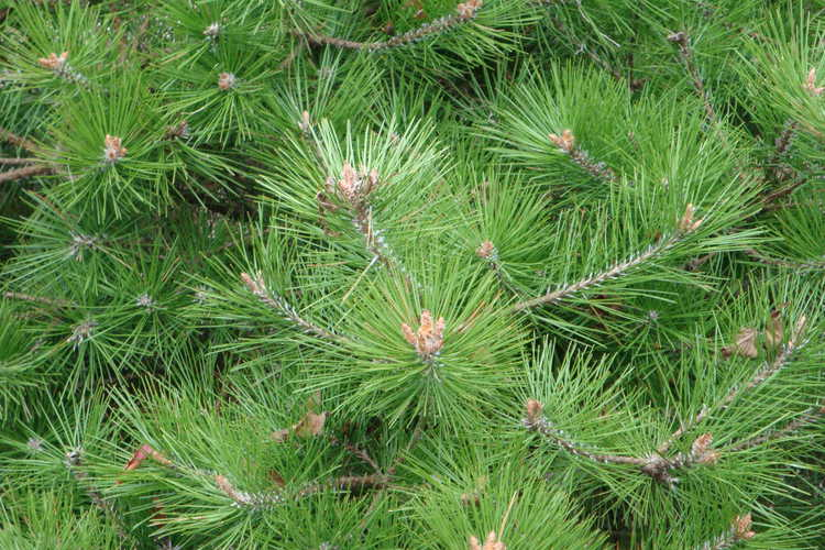 Pinus densiflora 'Vibrant' (dwarf Japanese red pine)