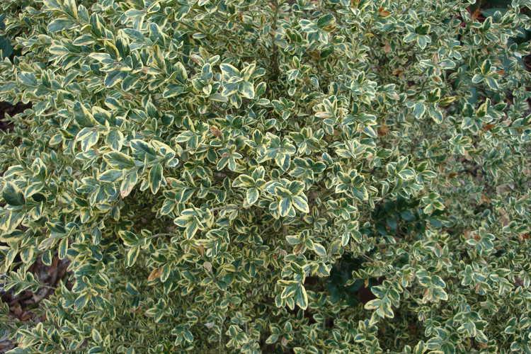 Buxus sempervirens 'Elegantissima' (variegated common boxwood)