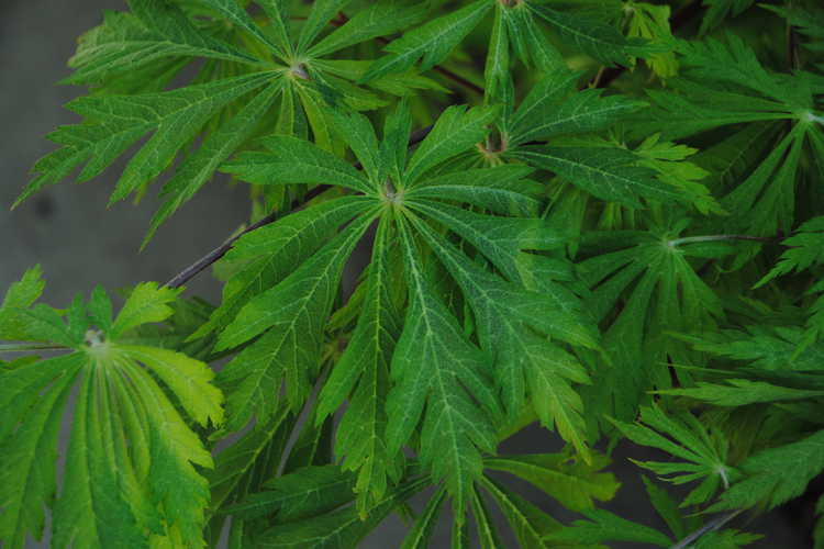 Acer japonicum 'Filicifolium' (fern-leaf maple)