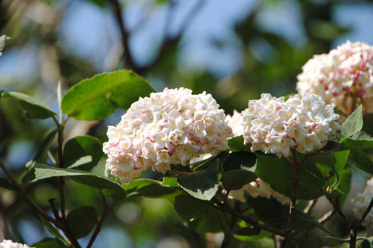 Viburnum ×carlcephalum (fragrant viburnum)